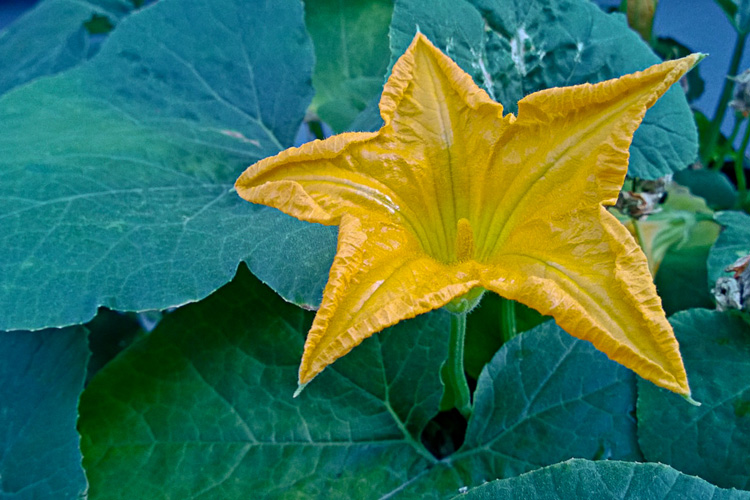 2 Quote A Flower Daily - Squash Star