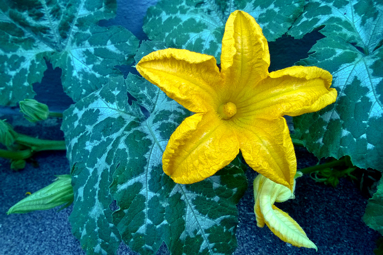 2 Quote A Flower Daily - Squash