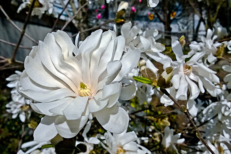 2 Quote A Flower Daily - Star Magnolia