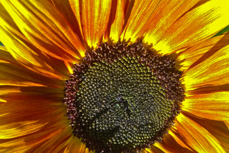 2 Quote A Flower Daily - Sunflower Blaze