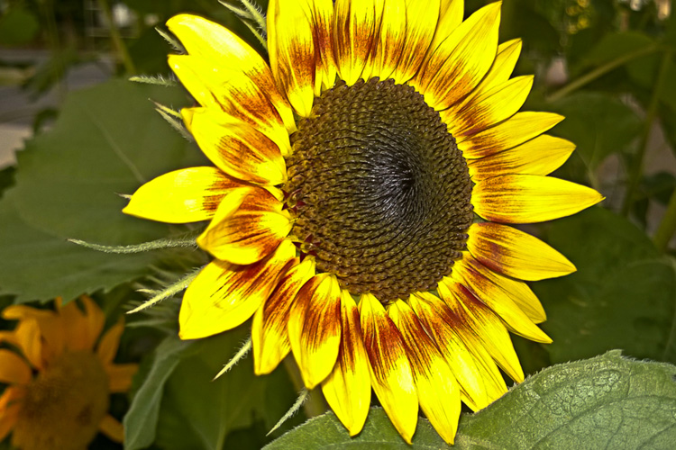 2 Quote A Flower Daily - Sunflower