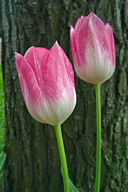 2 Quote A Flower Daily - Tulips PInk and White
