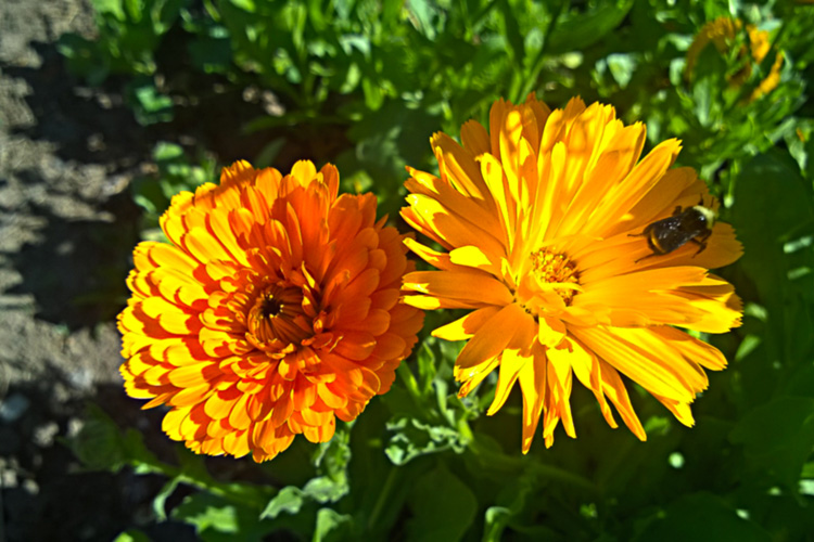 2 Quote A Flower Daily - Two Orange Flowers