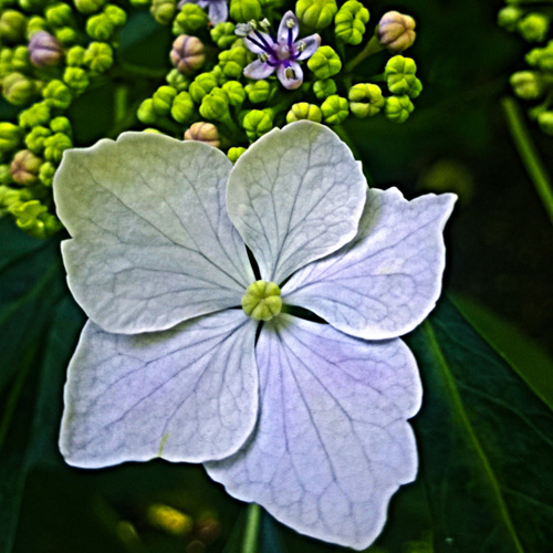 2 Quote A Flower Daily - White Hydrangea Squared