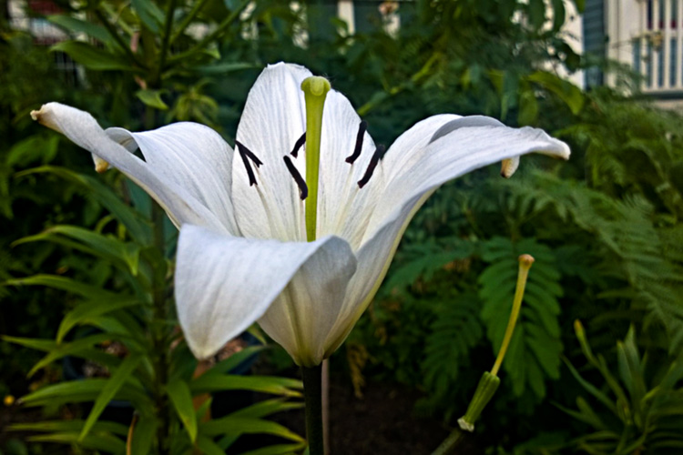 2 Quote A Flower Daily - White Lily