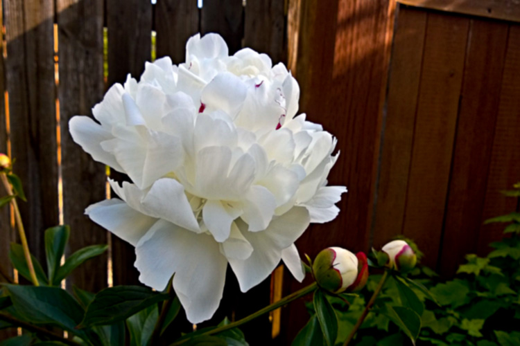 2 Quote A Flower Daily - White Peony 01