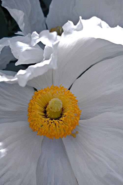 2 Quote A Flower Daily - White Poppy Romneya 01