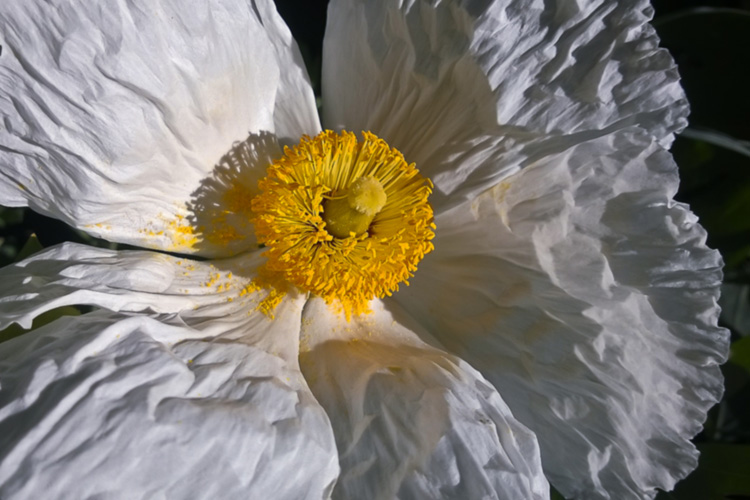 2 Quote A Flower Daily - White Poppy Romneya 04
