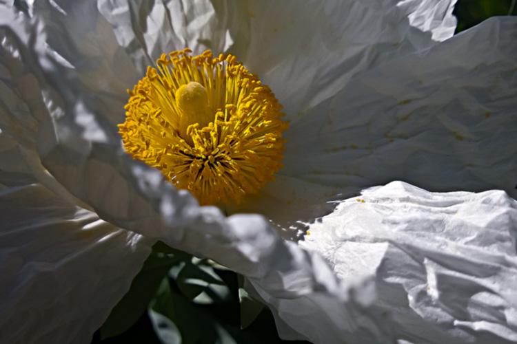 2 Quote A Flower Daily - White Poppy Romneya 05