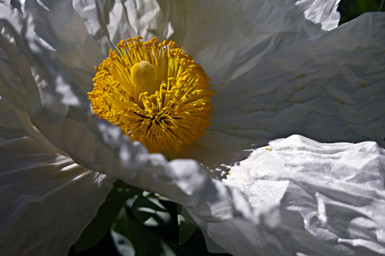 2 Quote A Flower Daily - White Poppy Romneya 05