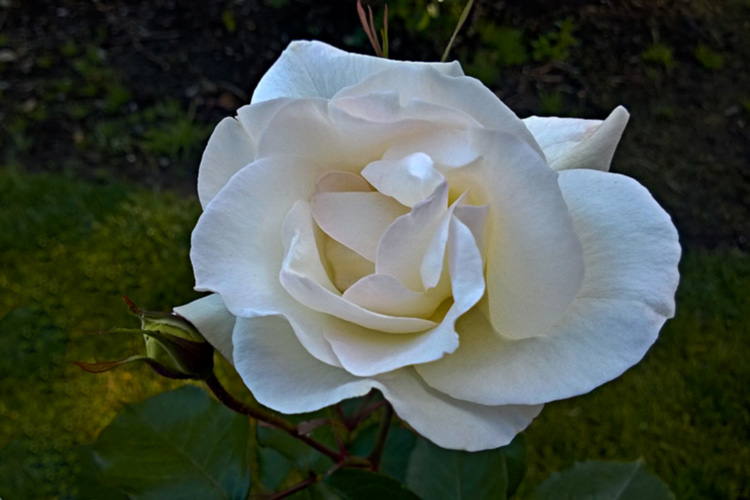 2 Quote A Flower Daily - White Simplicity Rose 01