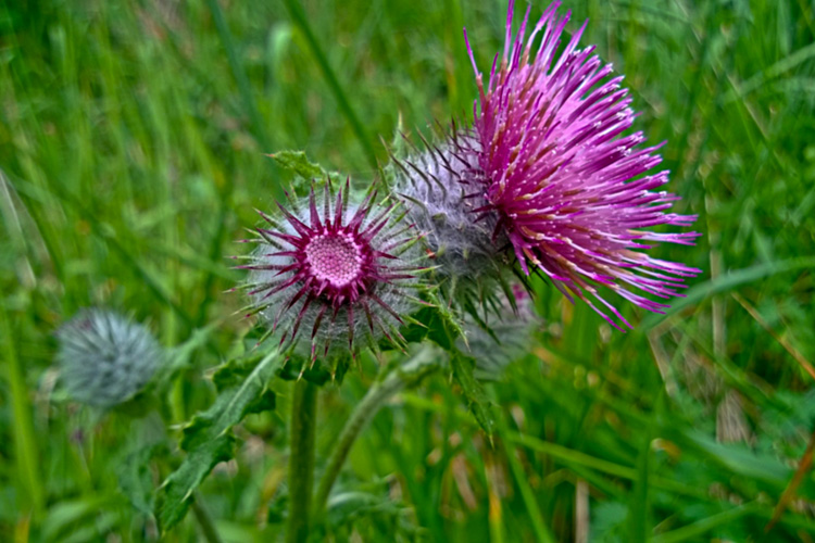 2 Quote A Flower Daily - Wild Purple Clover 01
