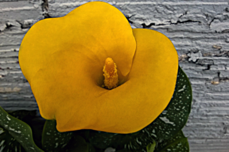 2 Quote A Flower Daily - Yellow Calla Lily Inside 01