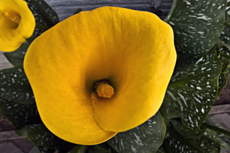2 Quote A Flower Daily - Yellow Calla Lily Inside 02
