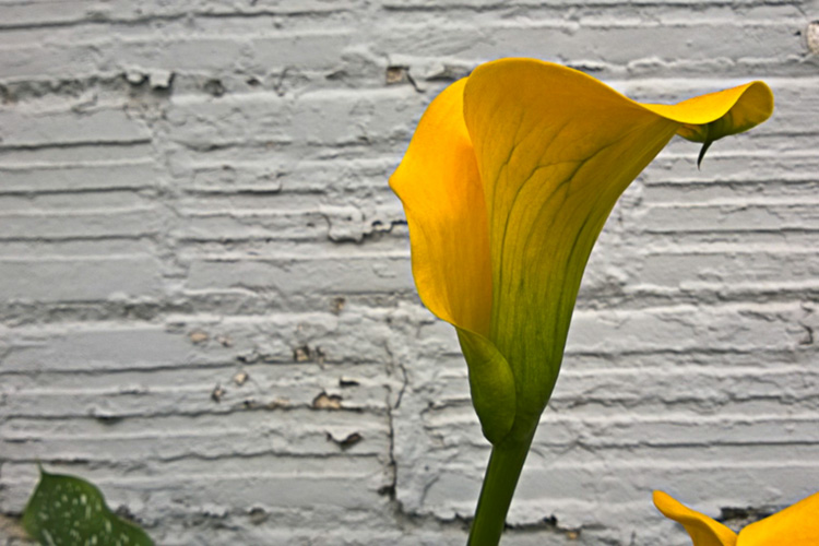 2 Quote A Flower Daily - Yellow Calla Lily Profile 01