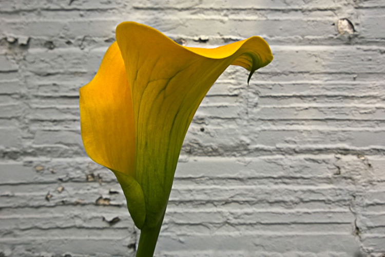 2 Quote A Flower Daily - Yellow Calla Lily Profile 02