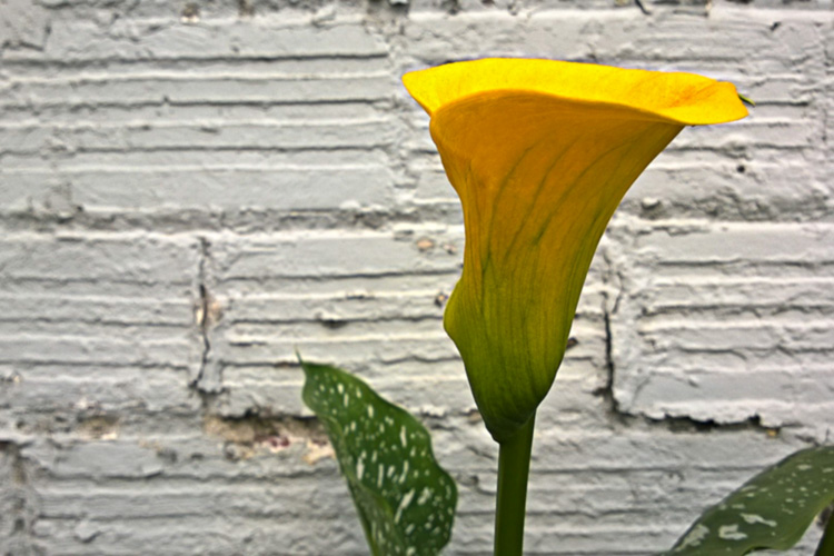 2 Quote A Flower Daily - Yellow Calla Lily Profile 03