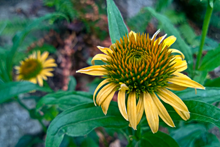 2 Quote A Flower Daily - Yellow Cone Flower