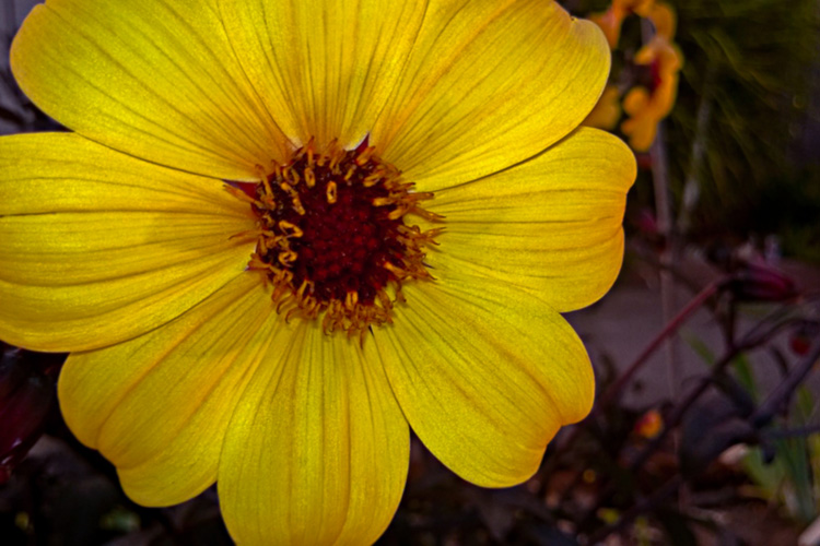 2 Quote A Flower Daily - Yellow Dahlia 02