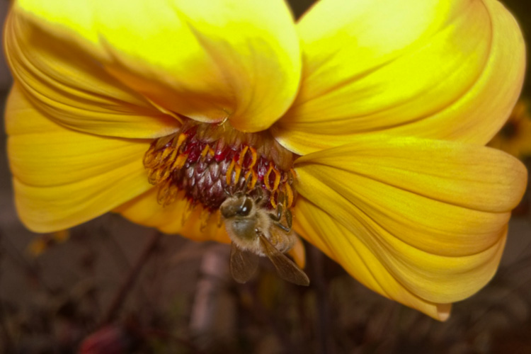 2 Quote A Flower Daily - Yellow Dahlia with Bee 01