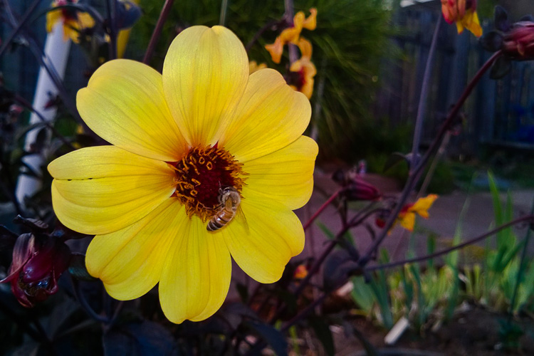 2 Quote A Bee Daily - Yellow Dahlia with Bee 02