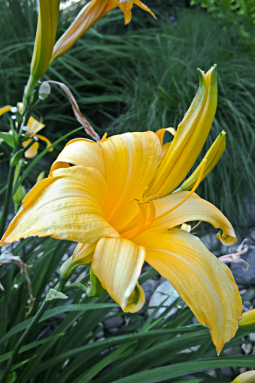 2 Quote A Flower Daily - Yellow Daylily