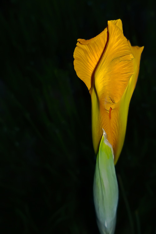 2 Quote A Flower Daily - Yellow Iris Bud Dark