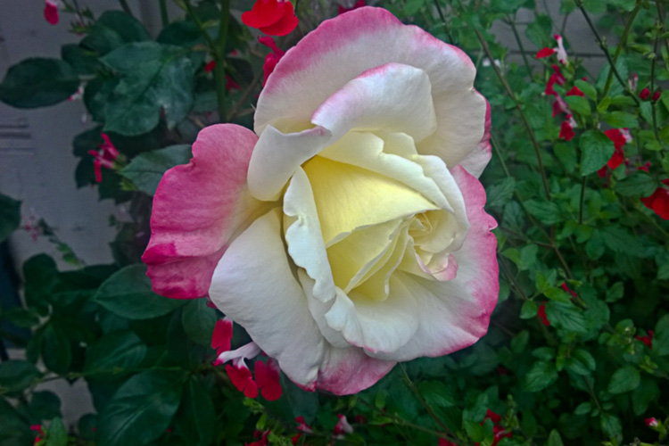 2 Quote A Flower Daily - Yellow Pink Rose 01