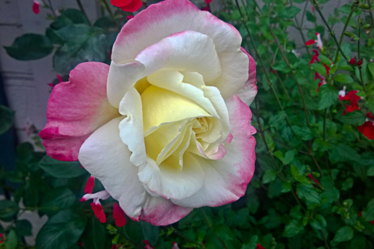 2 Quote A Flower - Yellow Pink Rose 02