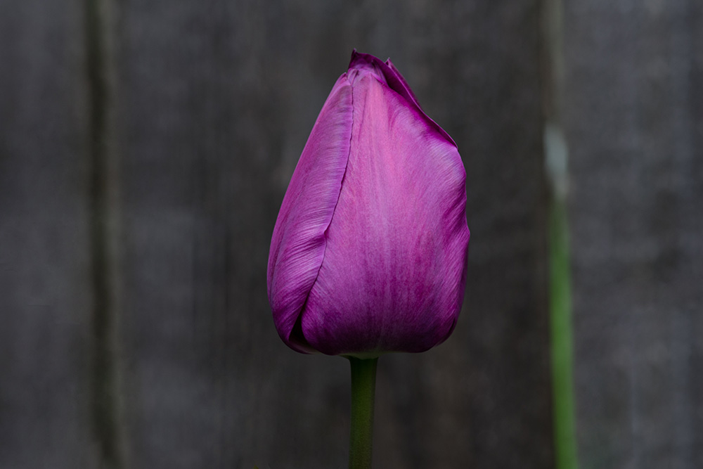 2 Quote A Flower Daily - Purple Tulip Easter