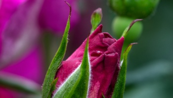 Blue Knockout Roses