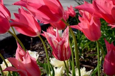 Different Tulip 01