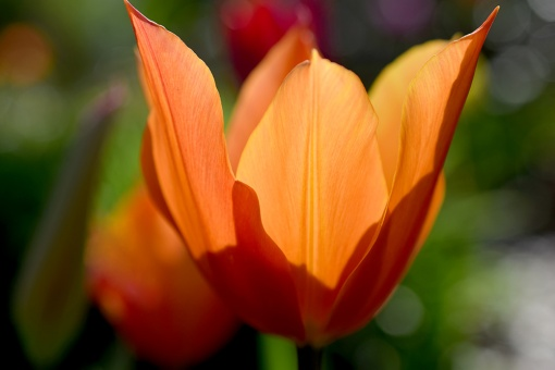 Orange Tulip Closeup