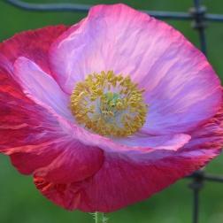 Pink Poppy Petals