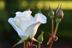 Saratoga White Rose
